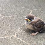 鳥のヒナを見つけたら!拾って保護するのがダメな訳