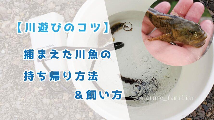 【川遊び】捕まえた川魚の持ち帰り方法&飼い方