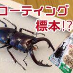 【昆虫標本】ダイソーの標本キットが超簡単!?20分でクワガタの標本作ってみた!